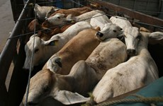 Indonesia to resume cattle import from Australia