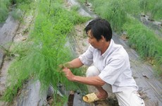 Asparagus becomes latest promising crop