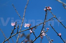 Early peach blossoms in Y Ty