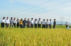 Japan, Vietnam develop new rice resistant to disease, bugs