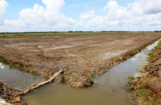 El Nino causes damage to 20,000 hectares of rice in Ca Mau