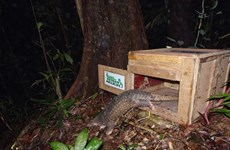Sunda Pangolins released back into wild