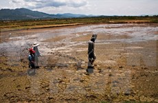 El Nino causes estimated loss of 12 billion VND for Long An province