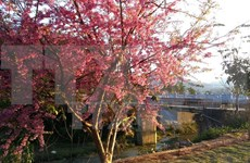 Japanese cherry trees take root in Da Nang