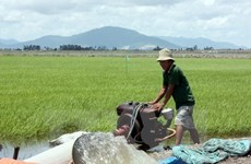 Paddy, rice prices on the rise amid severe saltwater intrusion