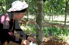 Indonesia's rubber output to drop slightly