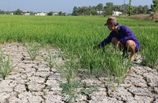 Drought takes heavy toll on crops in central, Central Highlands region