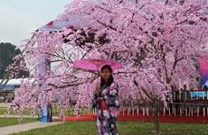 Cherry blossom events come to Vietnam