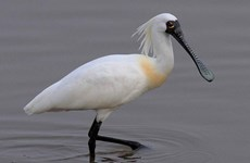 First black-faced spoonbill found in Tri An Lake