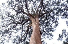 Fokienia forest in Quang Nam recognised as heritage tree