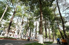 Old trees in Tra Vinh threatened: researchers