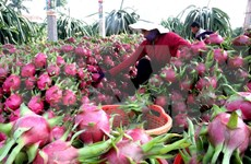 Dragon fruit exports to enjoy robust growth