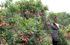 Hai Duong exports 5,000 tonnes of lychee so far
