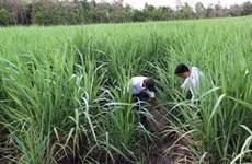 Yields of sugarcane declines in 2015-16 season