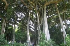 Ancient banyan tree lures visitors to Quang Ngai