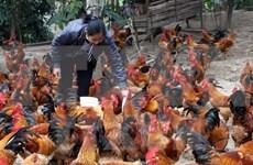 Poland exporters eye Vietnam poultry market