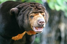 Malayan bear transferred to rescue centre