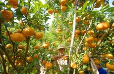 Nghe An develops large-scale citrus fruit growing areas