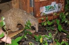 Over 40 Javan pangolins released into the wild