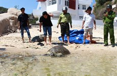 Ninh Thuan: Over 900 young turtles released to sea