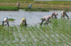 Low-CO2 rice farming foresees future expansion