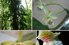 New flora species discovered in Khanh Hoa natural reserve