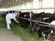 Soc Trang eyes poverty reduction from raising dairy cows