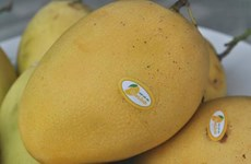 Vietnam to export Cat Chu mangoes to Japan