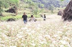 Buckwheat buds spur tourism