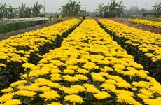 Hanoi's Tay Tuu flower village on days before Tet