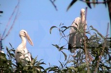 Endangered openbill storks migrate to Dien Bien