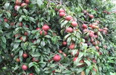 Son La to organise third annual plum festival