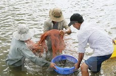 Shrimp export forecast lowered by 300 million USD