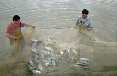 Tilapia exports set to shoot up in years ahead: VASEP
