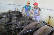 Tuna fishermen in Binh Dinh employ Japanese technologies