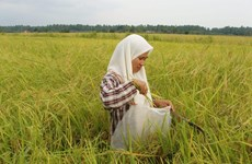 Malaysia spends over 500 mln USD annually to support rice farming