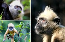 Several primate species teeter toward extinction