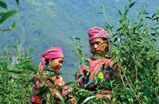 Ha Giang eyes tea sustainable development