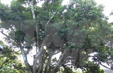 Oldest lychee tree recognised in Hai Duong