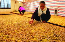 Silkworms 'trained' to weave blankets