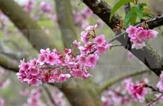 Ha Long cherry blossom festival 2016 to bloom