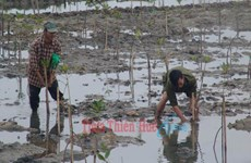 Thua Thien-Hue invests in mangrove afforestation