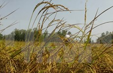 Southern rice output drops over drought, saline intrusion