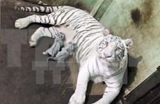 Wild tigers on verge of extinction in Vietnam
