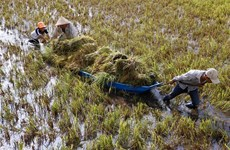 Rain, wind batter Mekong farms