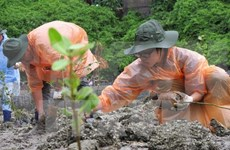 Soc Trang beefs up mangrove afforestation
