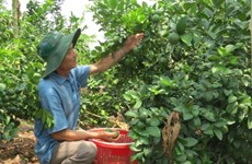 Vietnamese limes exported to RoK