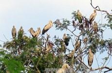 Rare Asian openbill storks flock to Dien Bien