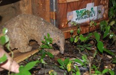 Twenty Java pangolins released back into the wild