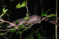 Endangered pangolins released into the wild